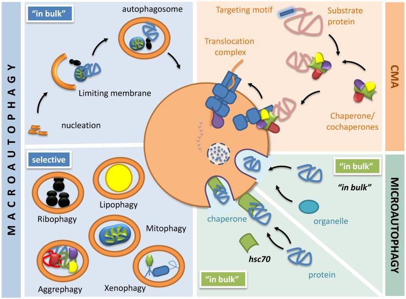 Autophagy, nutrition and immunology.
